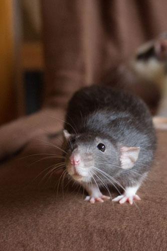 how to choose a pet rat