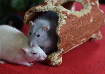 Beau (neutered) & Hugo (adoption pending)